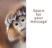 Ape. A curious ape with space for your text royalty free stock images