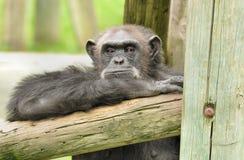 Ape Royalty Free Stock Photos