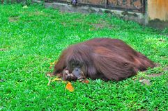 Ape. A long hair ape lying on the ground in the hot summer sun, almost sleeping Stock Images