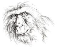 Ape Stock Photo