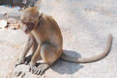 Ape Royalty Free Stock Image