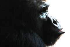 The Ape. 's face up close Royalty Free Stock Image