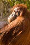 Ape. Peering at spectators Royalty Free Stock Photos