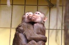 Ape. S in love Stock Image