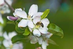 ape Fotografia Stock Libera da Diritti