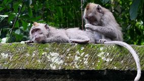 Ape adult animal catches fleas from his friend in rain forest of Bali. Family monkeys stock footage