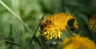 Ape alta vicina che raccoglie polline da un fiore del dente di leone fotografia stock libera da diritti