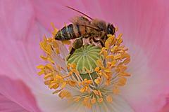 Ape in antere gialle Poppy Flower rosa immagini stock libere da diritti