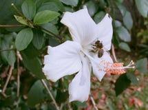 Ape appollaiata su un fiore bianco dell'ibisco immagini stock libere da diritti