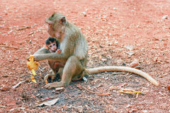 Ape with baby animal. Are eating banana on the ground Royalty Free Stock Images
