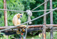 An Ape with baby monkey outdoors sitting alone. An Ape with baby monkey looking dull and sitting on tree wood looking unhappy outside Royalty Free Stock Photos