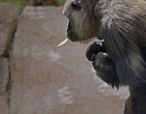 Ape with Baby. Ape walking with baby ape in arms stock photos