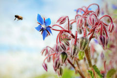 Ape is borage flower Stock Photos