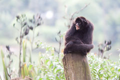 Ape brazil Stock Photos