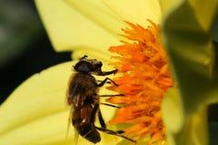 Ape che impollina Dahlia Flower Dark Background gialla Fotografia Stock