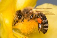 Ape che impollina il fiore giallo del fiore Fotografie Stock