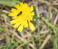 Ape che impollina in un fiore giallo - macro alta vicina fotografia stock