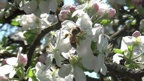 Ape che lavora al fiore del fiore di melo nella primavera video d archivio