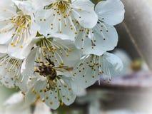 Ape che lavora con i fiori di ciliegia Fotografie Stock