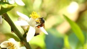 Ape che mangia il fiore del polline, chiangmai Tailandia archivi video