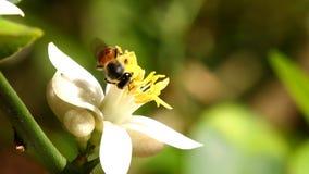Ape che mangia il fiore del polline, chiangmai Tailandia video d archivio