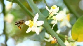 Ape che mangia il fiore del polline, chiangmai Tailandia stock footage