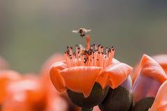 Ape che mangia miele sul fiore del capoc immagine stock libera da diritti