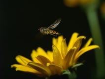 Ape che raccoglie miele immagini stock