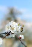 Ape che raccoglie miele su un albero di fioritura in primavera Apicoltura immagini stock