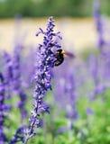 Ape che raccoglie miele sul fiore lavendar Fotografia Stock Libera da Diritti
