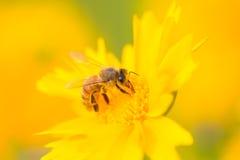 Ape che raccoglie polline Fotografia Stock