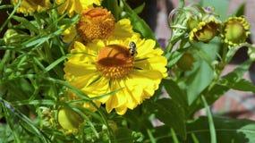 Ape che raccoglie polline da una margherita gialla vibrante Fotografia Stock