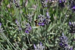 Ape che raccoglie polline dai fiori porpora della lavanda fotografia stock libera da diritti