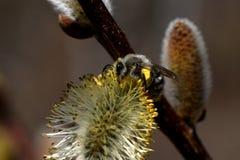 Ape che raccoglie polline dal rene fotografie stock libere da diritti