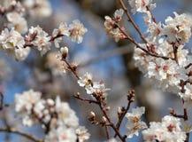 Ape che raccoglie polline sui fiori della mandorla di mattina fotografia stock