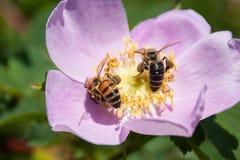 Ape che riunisce Pollen2 Fotografia Stock Libera da Diritti