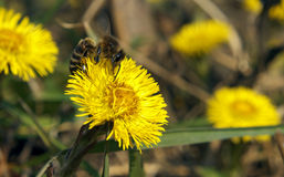 Ape che scala sul fiore giallo Fotografia Stock Libera da Diritti