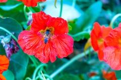 Ape che si siede sul fiore del papavero che riunisce nettare immagine stock