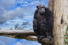 Ape chimpanzee monkey on deep blue sky background Stock Images
