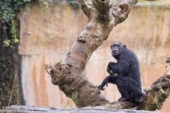 Ape chimpanzee monkey. Under heavy rain Stock Photos