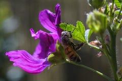 Ape con grande polline bianco in pelliccia che scala sulla foglia verde fotografia stock libera da diritti