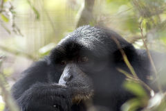 Ape Daydreams in the Afternoon. Primate, Mature black Siamang, gazes into hazy Foliage in bright sunshine, lost in thought Stock Photos