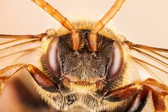 Ape del cuculo, Nomada, ape Immagine Stock Libera da Diritti