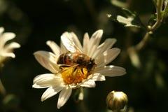 Ape del fuco sul crisantemo del fiore Fotografia Stock