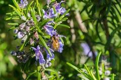 Ape del miele che impollina un fiore dei rosmarini, California fotografie stock libere da diritti