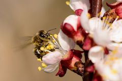 Ape del miele che lavora al fiore dell'albicocca Fotografia Stock Libera da Diritti