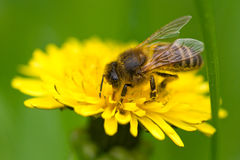 Ape del miele che raccoglie coregone lavarello Fotografia Stock