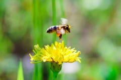 Ape del miele che raccoglie coregone lavarello Fotografia Stock Libera da Diritti