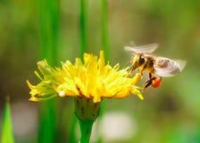 Ape del miele che raccoglie coregone lavarello Immagini Stock Libere da Diritti