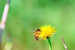 Ape del miele che raccoglie coregone lavarello Immagini Stock